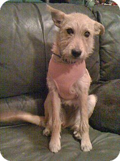Terrier (Unknown Type, Medium)/Irish Terrier Mix Puppy for Sale in Phoenix, Arizona - Gracie