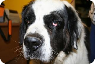 St. Bernard Dog for adption in Phoenix, Arizona - Connor