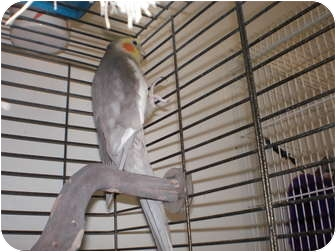 Cockatiel for Sale in Neenah, Wisconsin - Prancer