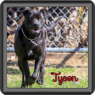 Labrador Retriever/American Pit Bull Terrier Mix Dog for adption in Spring, Texas - Tyson