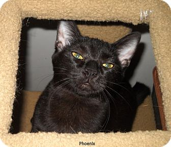 Domestic Shorthair Cat for adoption in Walnut Creek, California - Phoenix