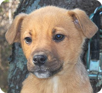 Shepherd (Unknown Type)/Labrador Retriever Mix Puppy for Sale in Sussex, New Jersey - Allie