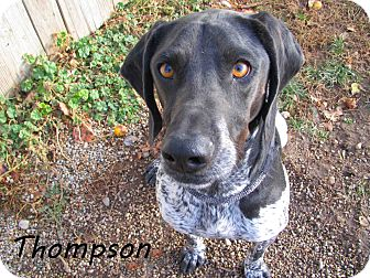 Pointer Mix Dog for Sale in Hamilton, Montana - Thompson