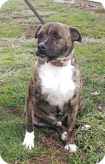 Boxer/American Staffordshire Terrier Mix Dog for adption in Brookville, Indiana - Rocky