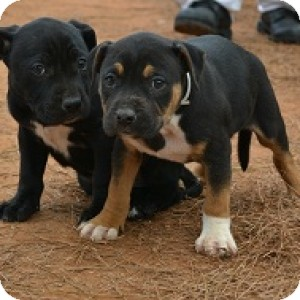 Hound (Unknown Type)/Pit Bull Terrier Mix Puppy for Sale in Athens, Georgia - Tad and Tab