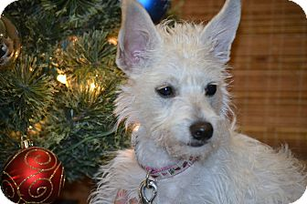 Westie, West Highland White Terrier/Maltese Mix Puppy for Sale in Bellflower, California - Chiquita