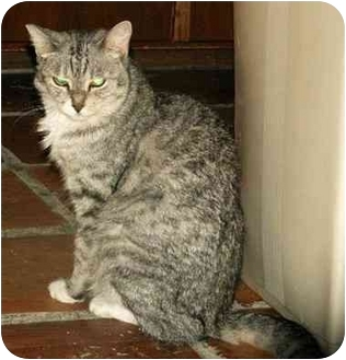 Domestic Mediumhair Cat for adoption in Scottsdale, Arizona - Tiny Christy