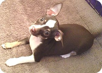 Chihuahua Puppy for Sale in Orlando, Florida - Chispy#2M