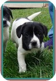 Border Collie/Beagle Mix Puppy for Sale in Allentown, Pennsylvania - Oreo