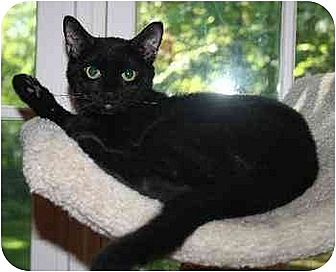Domestic Shorthair Cat for adoption in Fairfield, Connecticut - Blacky