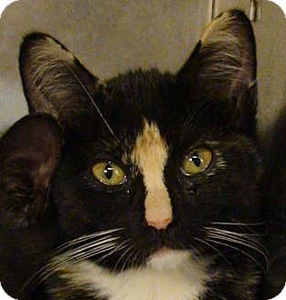 Calico Kitten for Sale in El Cajon, California - Sabrina