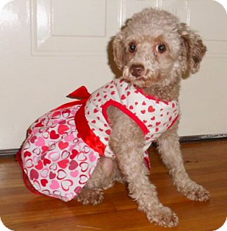 Poodle (Toy or Tea Cup) Dog for Sale in Birmingham, Alabama - Molly