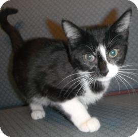 Domestic Shorthair Kitten for Sale in Jackson, Michigan - Barbara