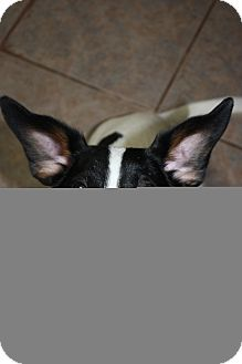 Rat Terrier Mix Dog for Sale in Stilwell, Oklahoma - Mindy