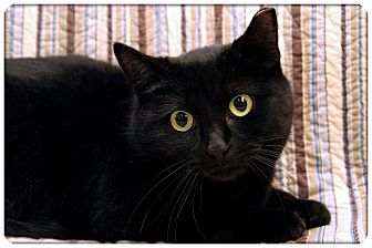 Domestic Shorthair Cat for adoption in Sterling Heights, Michigan - Sabina