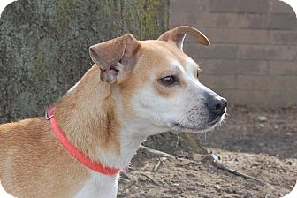 Jack Russell Terrier/Beagle Mix Dog for adption in London, Kentucky - MaryLou