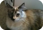 Ragdoll Cat for Sale in Ennis, Texas - Tarma