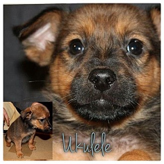 Dachshund/Beagle Mix Puppy for Sale in Westland, Michigan - Ukelele