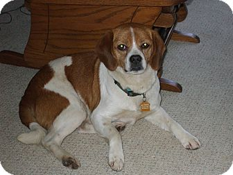 Pug/Beagle Mix Dog for adption in Carey, Ohio - ZANDER