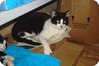 Domestic Shorthair Cat for adoption in Brooklyn, New York - Sherlock