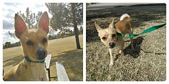 Chihuahua Mix Dog for Sale in Scottsdale, Arizona - Bronson