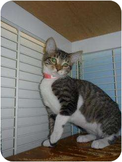 Domestic Shorthair Kitten for adoption in Margate, Florida - Janice
