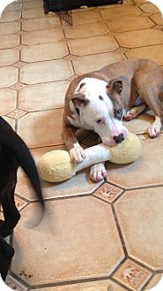 Pit Bull Terrier Mix Puppy for Sale in Pittsburgh, Pennsylvania - Tanner