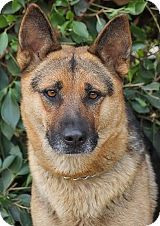 German Shepherd Dog Dog for adption in Los Angeles, California - Athena von Akin