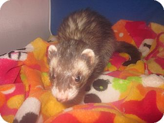 Ferret for adoption in Toledo, Ohio - Hannah