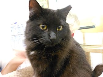 Domestic Mediumhair Cat for adoption in Chandler, Arizona - Black Beauty