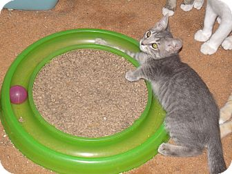 Domestic Shorthair Kitten for Sale in Scottsdale, Arizona - Bonnie-face fascination