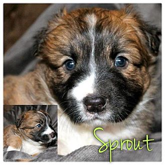 Jack Russell Terrier/American Pit Bull Terrier Mix Puppy for Sale in Westland, Michigan - Sprout