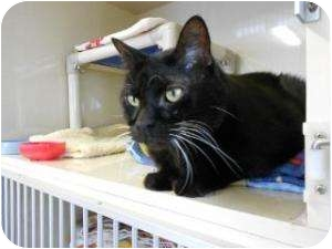 Domestic Shorthair Cat for adoption in Fort Collins, Colorado - Tera