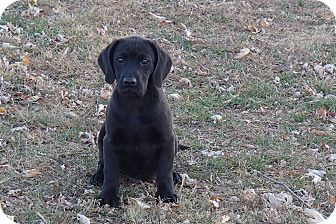 Labrador Retriever Mix Puppy for Sale in Bedford, Virginia - shadoe
