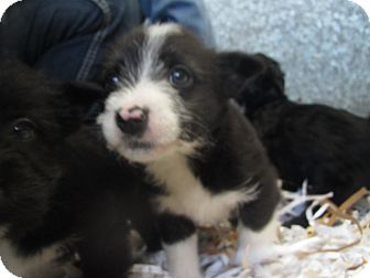 Terrier (Unknown Type, Small) Mix Puppy for Sale in Hamilton, Montana - Pup 4