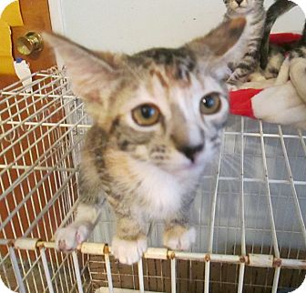 Calico Kitten for Sale in Simi Valley, California - Serena
