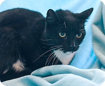 Domestic Shorthair Cat for adoption in Troy, Michigan - Conrad