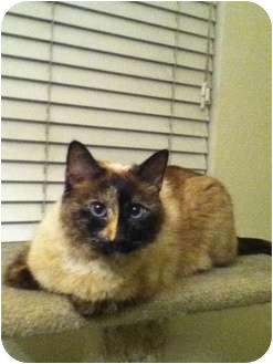 Siamese Cat for Sale in San Jose, California - Precious