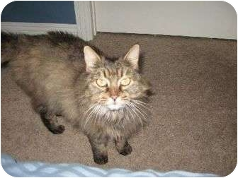 Maine Coon Cat for adoption in Bellflower, California - CA - Wookie