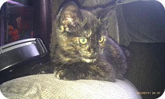 Domestic Shorthair Kitten for Sale in Emsdale (Huntsville), Ontario - Tori - Born in May!
