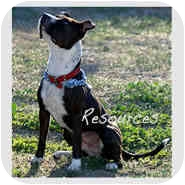 Boston Terrier/American Staffordshire Terrier Mix Dog for Sale in Los Angeles, California - Buttons