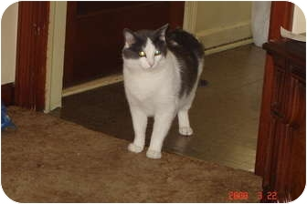 Domestic Shorthair Cat for Sale in West Dundee, Illinois - Smokey