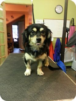 Spaniel (Unknown Type)/Chihuahua Mix Dog for Sale in Brattleboro, Vermont - Tailz