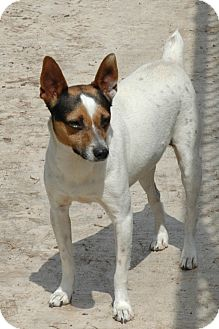 Jack Russell Terrier Dog for Sale in san antonio, Texas - Trevor