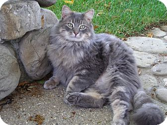 Maine Coon Cat for Sale in Thousand Oaks, California - Johnny
