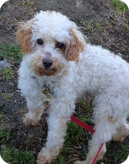 Goldendoodle/Poodle (Miniature) Mix Dog for adption in W. Warwick, Rhode Island - RI-CHANCE