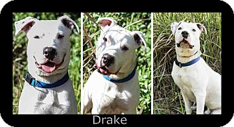 American Bulldog Mix Dog for Sale in Bartow, Florida - Drake