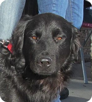 Labrador Retriever/Flat-Coated Retriever Mix Dog for Sale in Lincolnton, North Carolina - Blackie