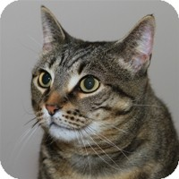 Domestic Shorthair Cat for Sale in Albany, New York - Buddha