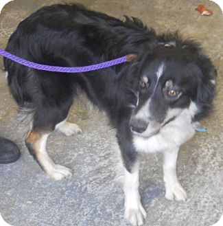 ... Shetland Sheepdog/Border Collie Mix. Meet Blue - SPONSORED! a Dog for